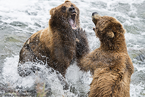 Bear battle, Katmai National Park, Alaska