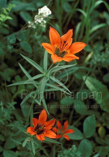 photo wf lily5 western red lily wildflower